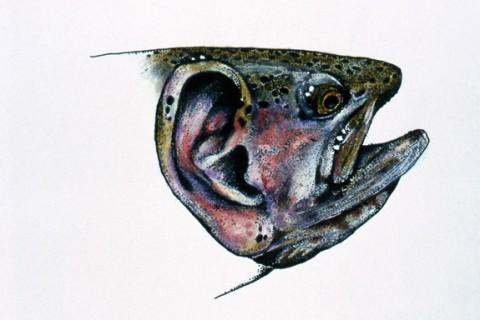 trout_ears